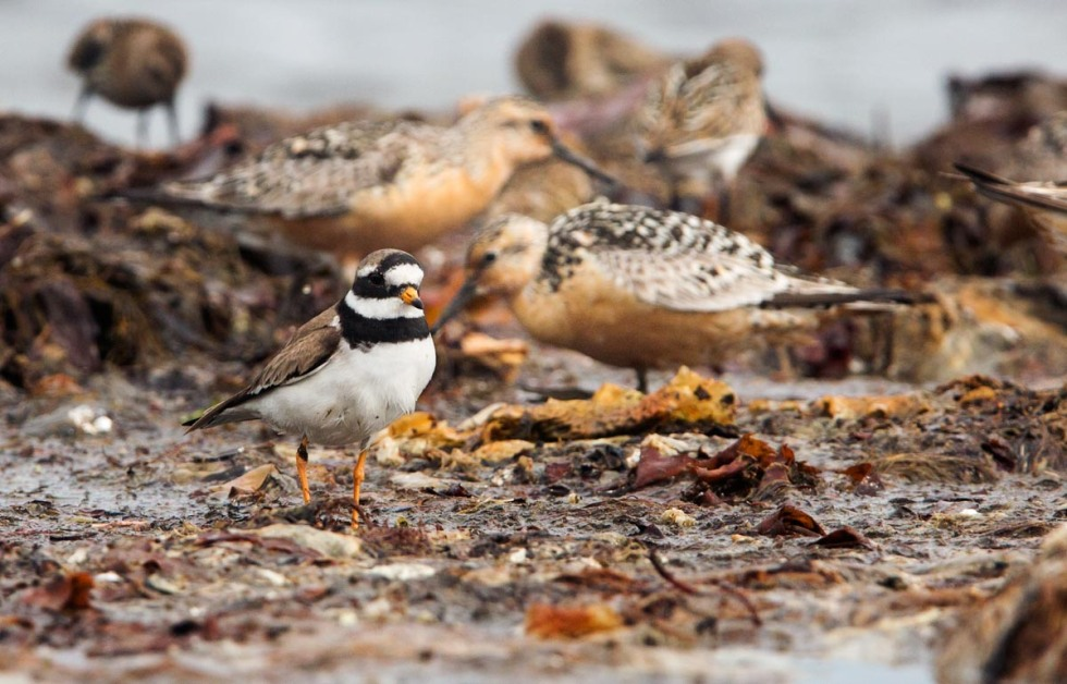 Photo of a Ringed Plover, Kviljoodden, Lista, Norway