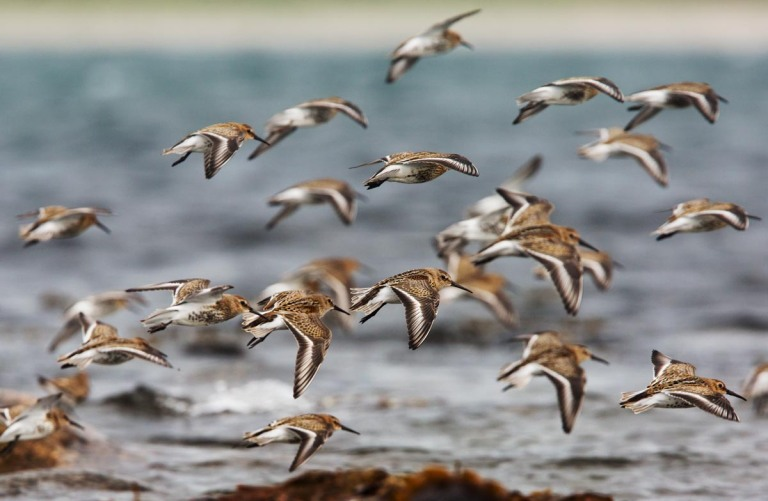 Photo of Dunlins, Kviljoodden, Lista, Norway