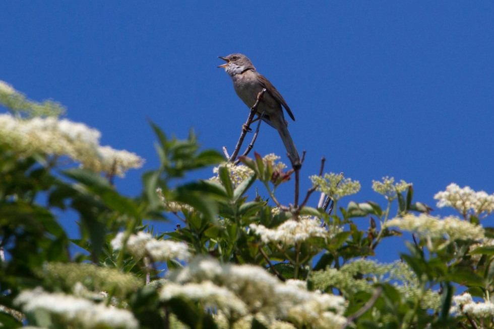 Photo of a Whitethroat, Texel, the Netherlands