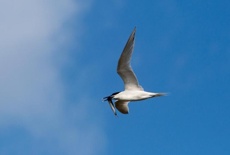 """Photo of a Sandwich Tern, Réserve naturelle nationale du Platier d""""Oye, France"""