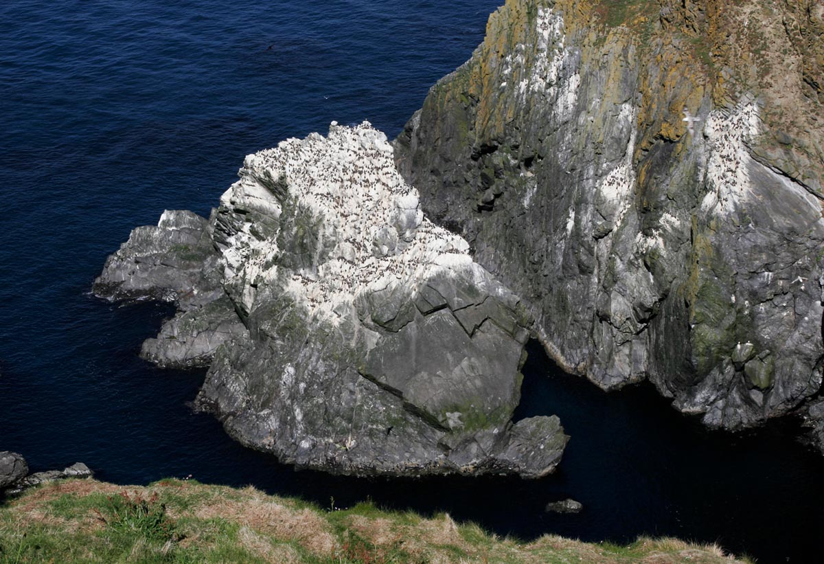 Photo of Guillemots, Sumburgh Head, Shetland, United Kingdom