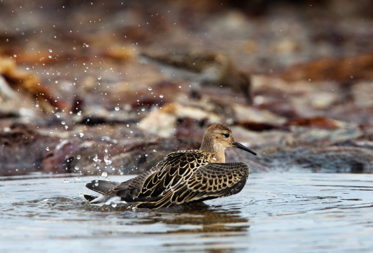 Photo of a Ruff, Kviljoodden, Lista, Norway