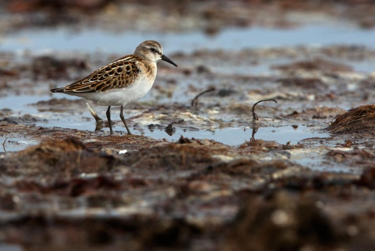 Photo of a Little Stint, Kviljoodden, Lista, Norway
