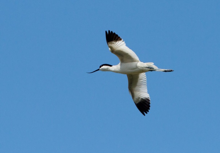 Photo of a Avocet, Réserve naturelle nationale du Platier d'Oye, France