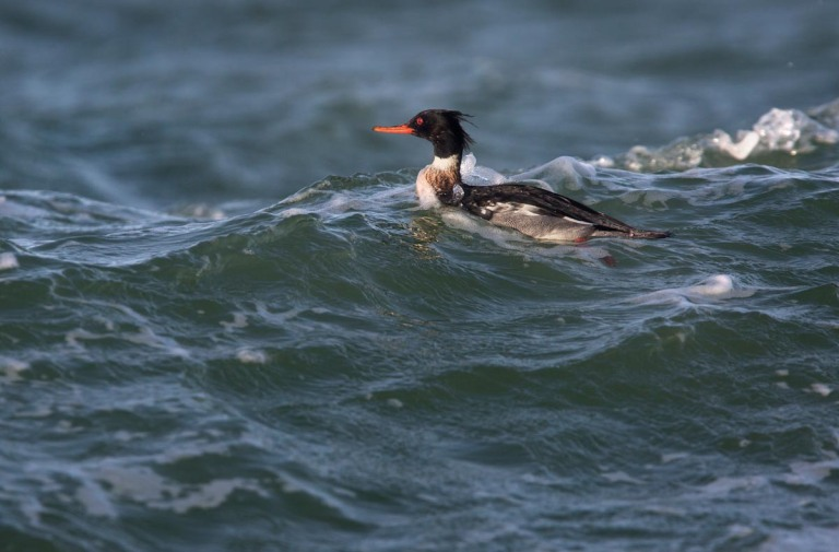 Photo of a Red-breasted Merganser, Brouwersdam, the Netherlands