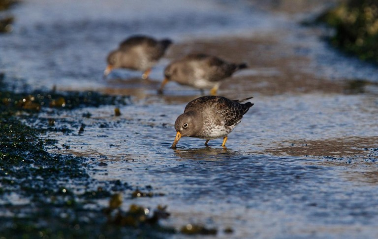 Photo of Purple Sandpipers, Brouwersdam, the Netherlands