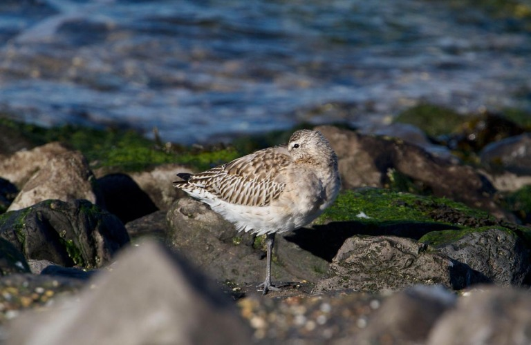 Photo of a Bar-tailed Godwit, Brouwersdam, the Netherlands