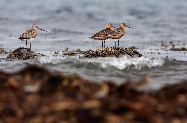 Photo of Bar-tailed Godwits,, Kviljoodden, Lista, Norway