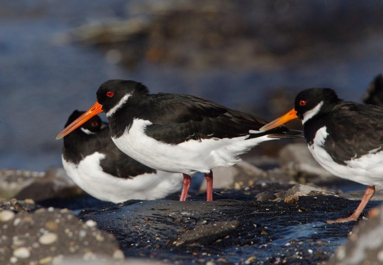 Photo of Oystercatchers, Brouwersdam, the Netherlands