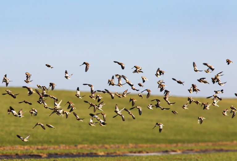 Photo of Snow Buntings, Westerhever, Nordfriesland, Germany