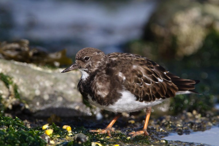Photo of a Ruddy Turnstone , Brouwersdam, the Netherlands