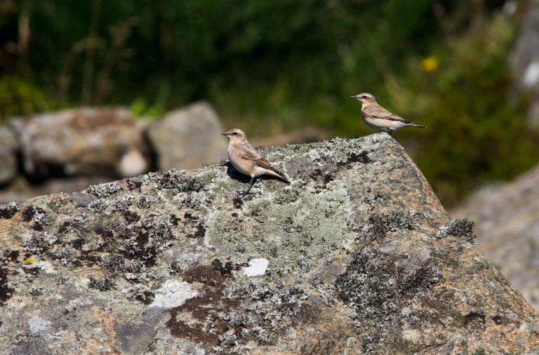 Photo of Northern Wheatears, Einarsneset, Lista, Norway