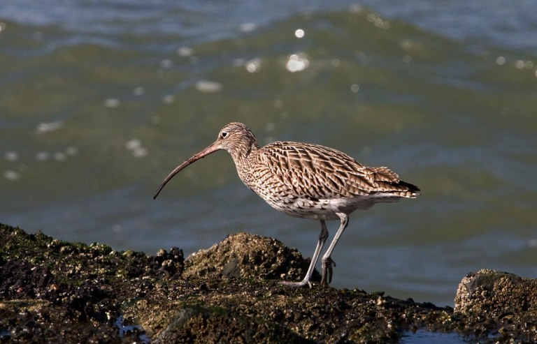 Photo of a Curlew, Brouwersdam, the Netherlands