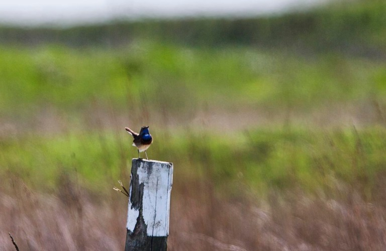Photo of a Bluethroat, Verdronken Land van Saeftinghe, the Netherlands