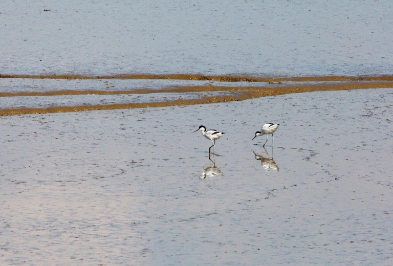 Photo of Avocets, Verdronken Land van Saeftinghe, the Netherlands