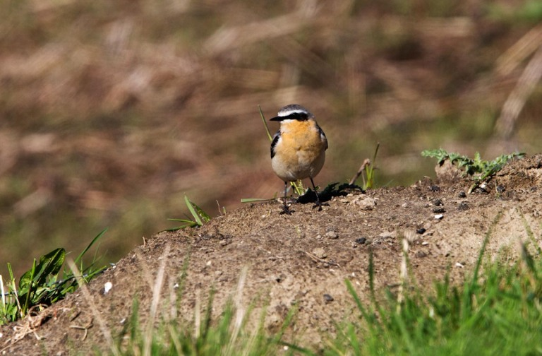 Photo of a Wheatear, Verdronken Land van Saeftinghe, the Netherlands
