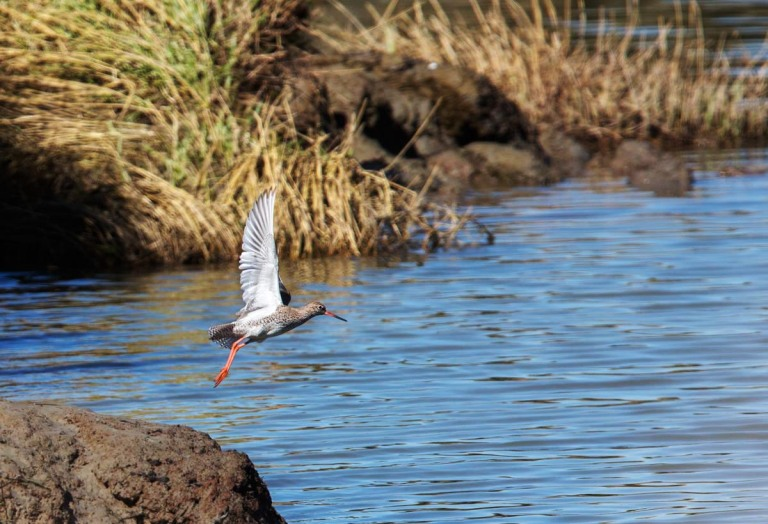 Photo of a Redshank, Verdronken Land van Saeftinghe, the Netherlands