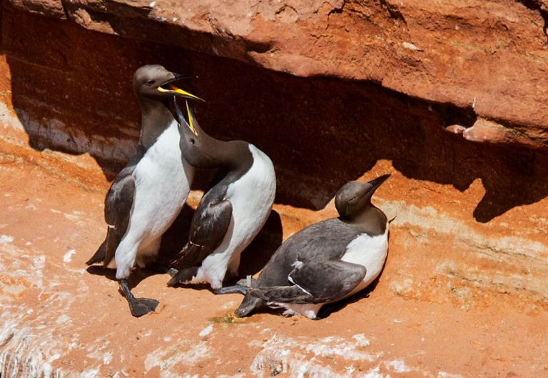 Photo of Guillemots, Helgoland, Germany