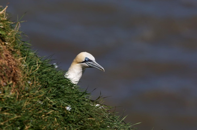 Photo of a Northern Gannet, Bempton Cliffs, Yorkshire, England, United Kingdom
