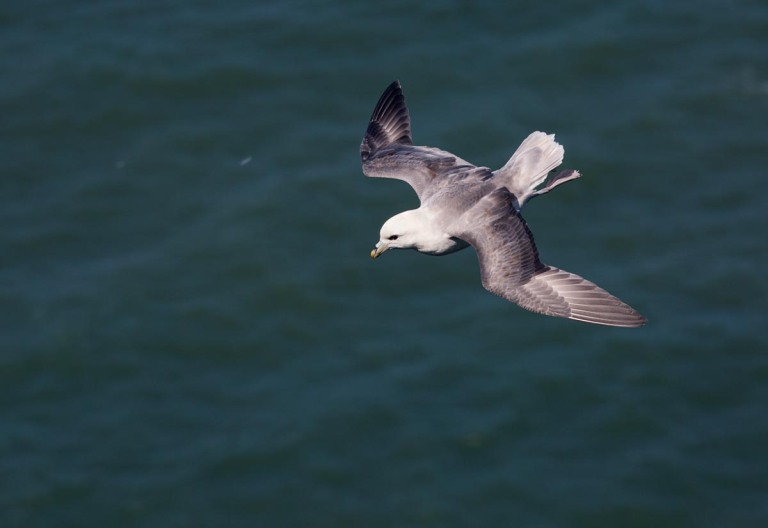 Photo of a Northern Fulmar, Bempton Cliffs, Yorkshire, England, United Kingdom
