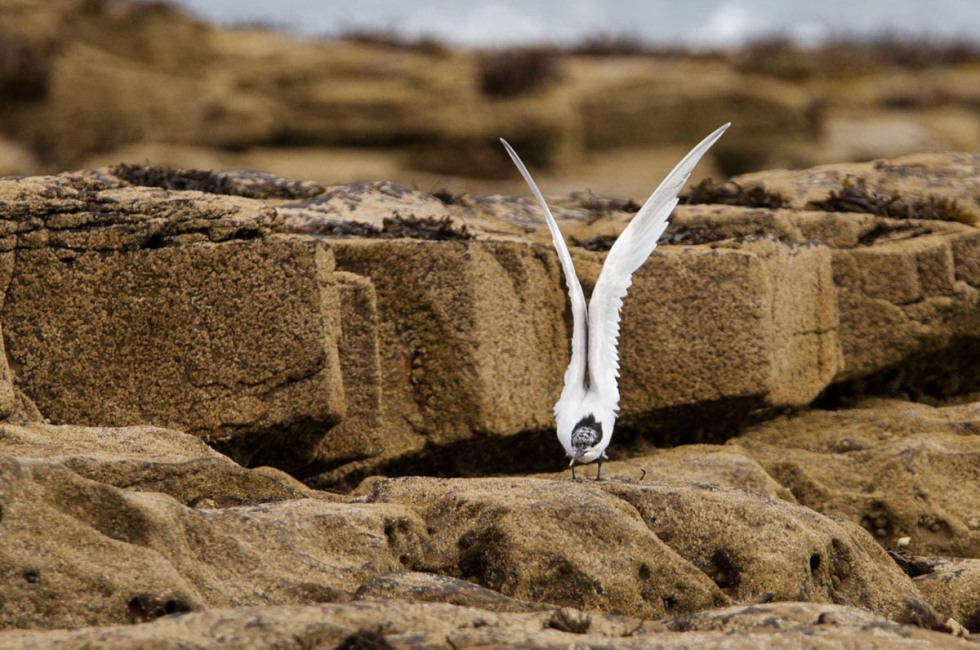 Photo of a Sandwich Tern, Snab Point, Cresswell, England