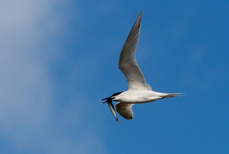 Photo of a Sandwich Tern, Oye-Plage, Pas-de-Calais, France