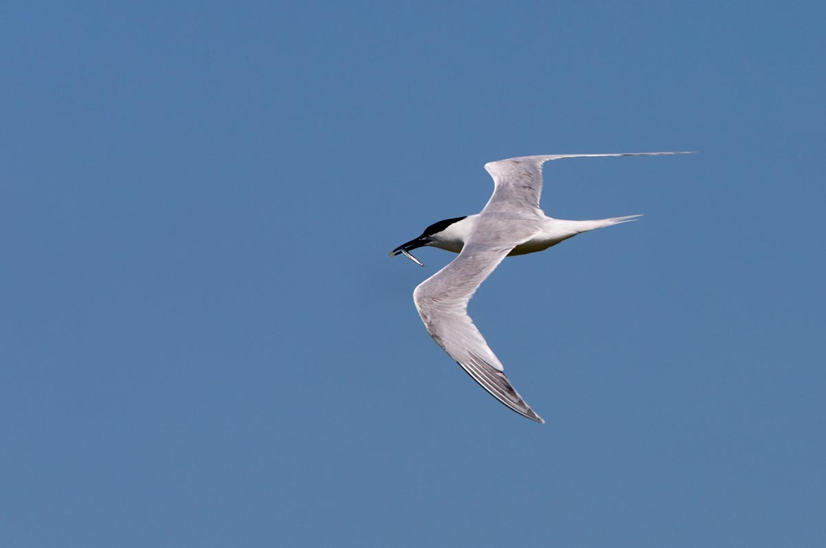 Photo of a Sandwich Tern, Wagejot, Texel, the Netherlands