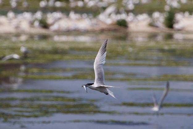 Photo of a Sandwich Tern, Petten, Texel, the Netherlands