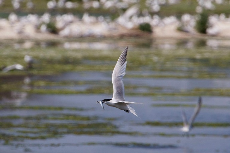 Photo of a Sandwich Tern, Petten, Texel, the Netherlands