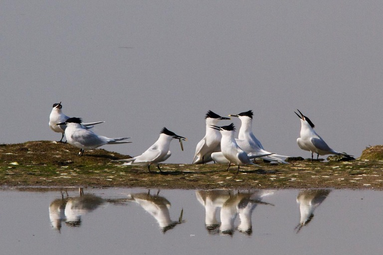 Photo of Sandwich Terns, Ottersaat, Texel, the Netherlands