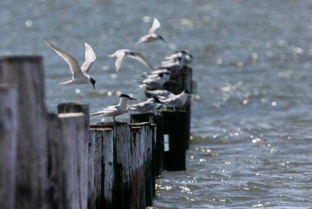 Photo of Sandwich Terns, Slikken van Voorne, Oostvoorne, the Netherlands