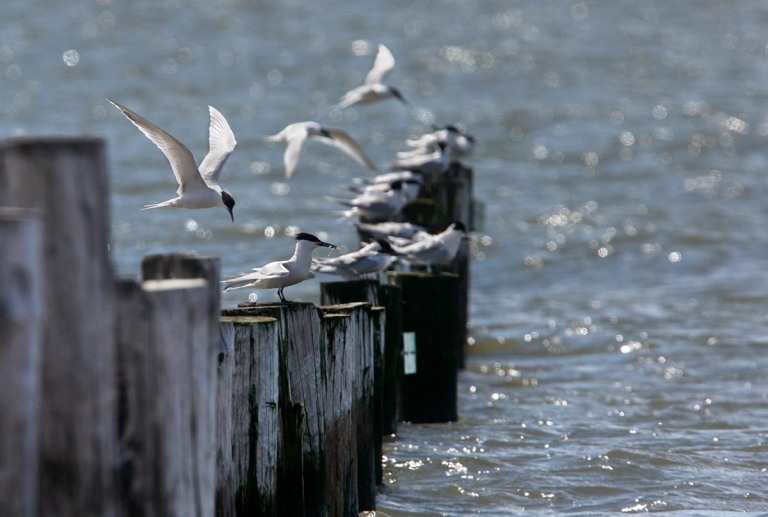 Photo of Sandwich Terns, Slikken van Voorne, Oostvoorne, the Netherlands