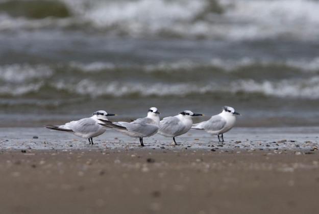 Photo of Sandwich Terns, North Seabeach, IJmuiden, the Netherlands