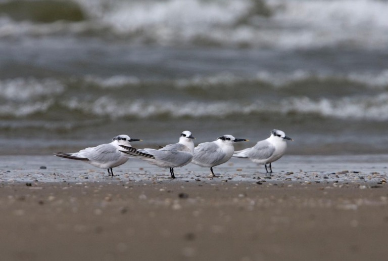 Photo of Sandwich Terns, North Seabeach, IJmuiden, the Netherlands
