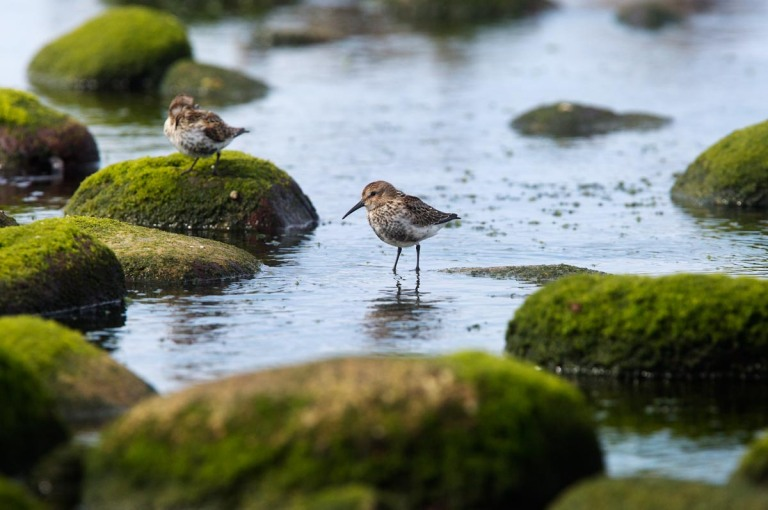 Photo of a Dunlin, Naerlandstranden, Norway
