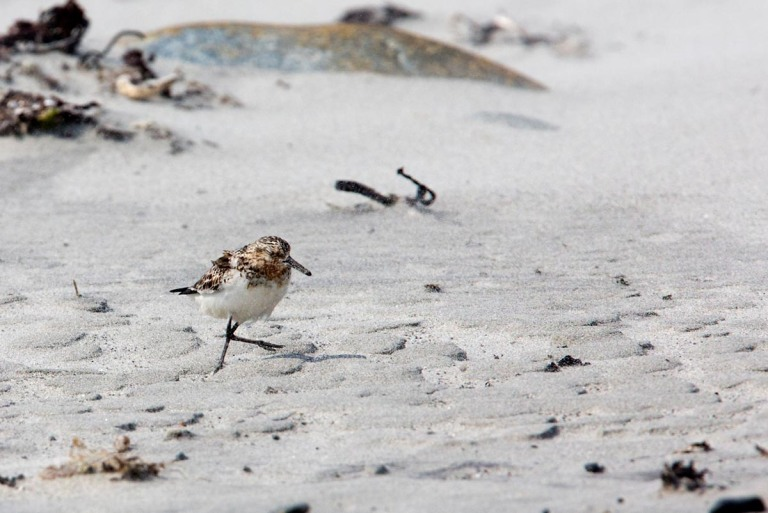 Photo of a Sanderling, Revtangen, Norway