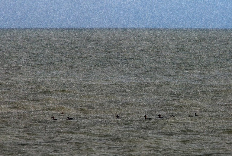 Photo of Eiders in a hailstorm on the Wadden Sea near Texel, the Netherlands