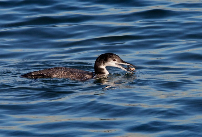 Photo of a Great Northern Loon, IJmuiden, the Netherlands