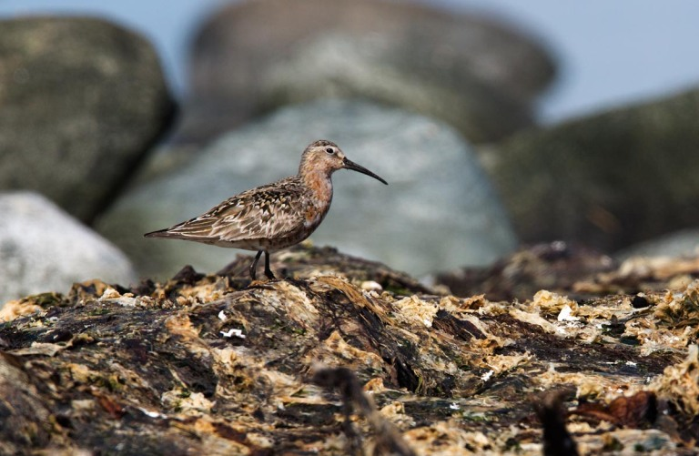 Photo of a Curlew Sandpiper, Naerlandstranden, Norway