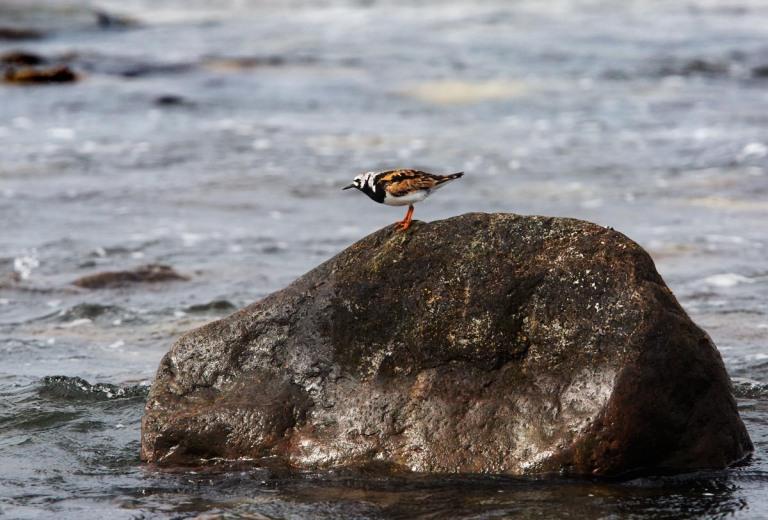 Photo of a Turnstone, Lyratangen, Norway