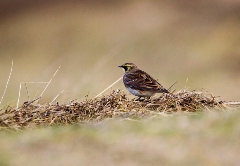 Photo of a Shore lark in nature reserve Zwin, Belgium