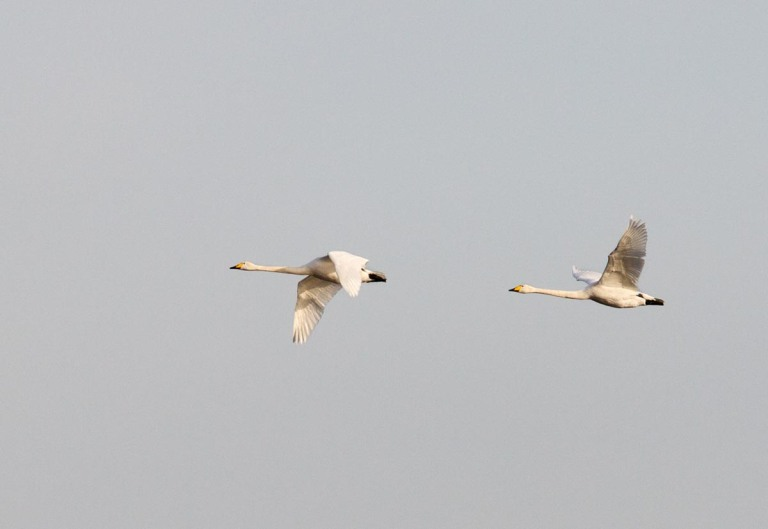 Photo of Whooper Swans, Beltringharder Koog, Germany