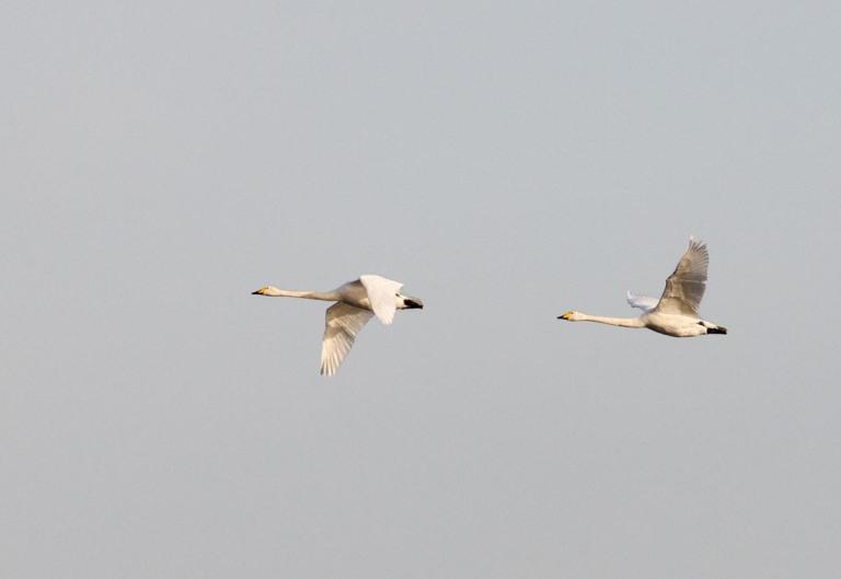 Photo of Whooper Swans, Beltringharder Koog, Germany