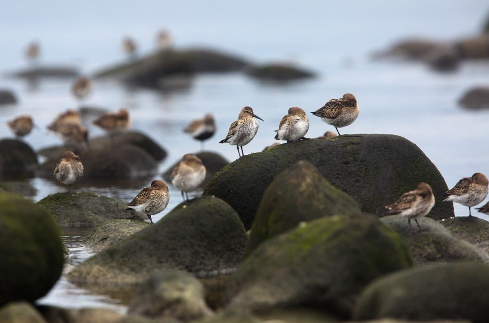 Photo of Dunlins, Naerlandstranden, Norway
