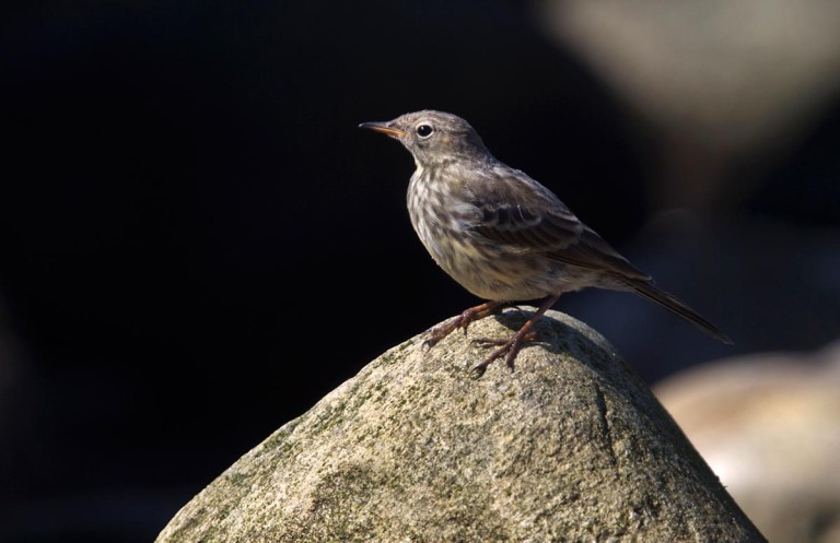 Photo of a Rock Pipit, Naerlandstranden, Norway