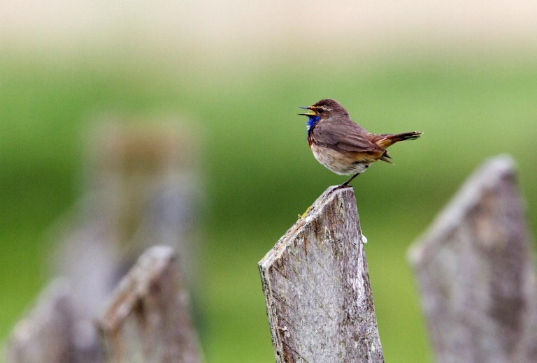 Photo of a Bluethroat, Polder Breebaart, the Netherlands