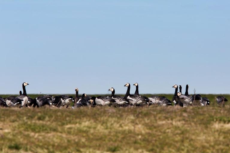 Photo of Barnacle Geese, Polder Breebaart. the Netherlands
