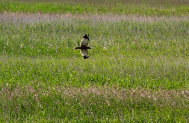 Photo of a Marsh Harrier, Rysum, Germany