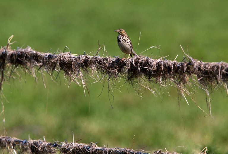 Photo of a Meadow Pipit, Bohrinsel, Dyksterhusen, Germany