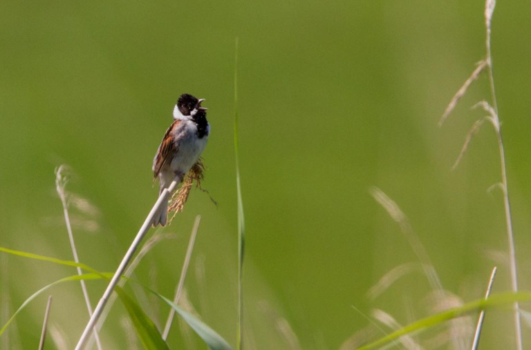Photo of a Reed Bunting, Westerwoldse Aa, the Netherlands